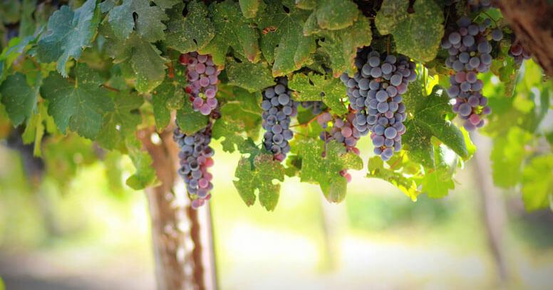 Vigna pugliese, uva pugliese