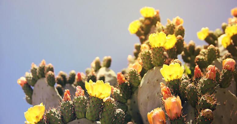 Fichi d'india in fiore a Pulsano