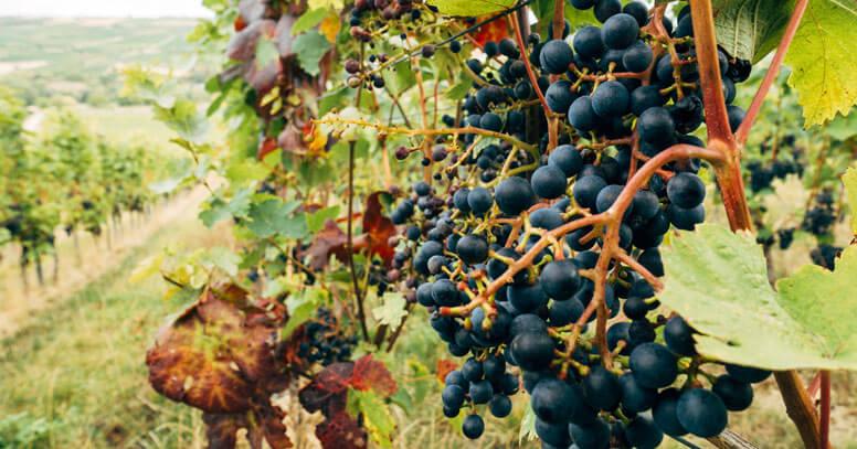 Vigna in autunno in Puglia